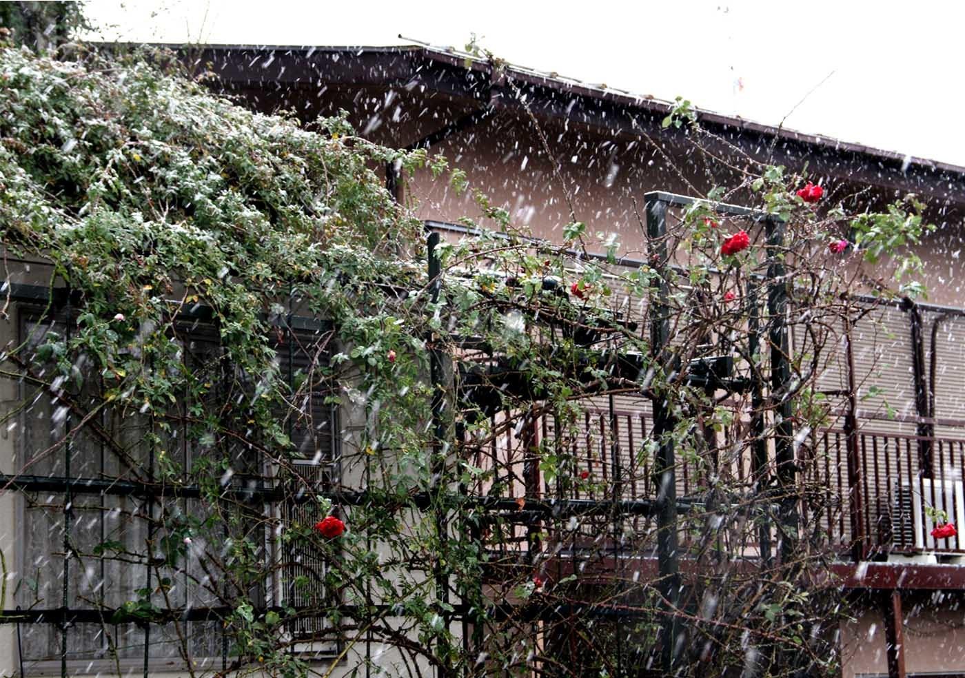 20161123の雪とバラ(5)