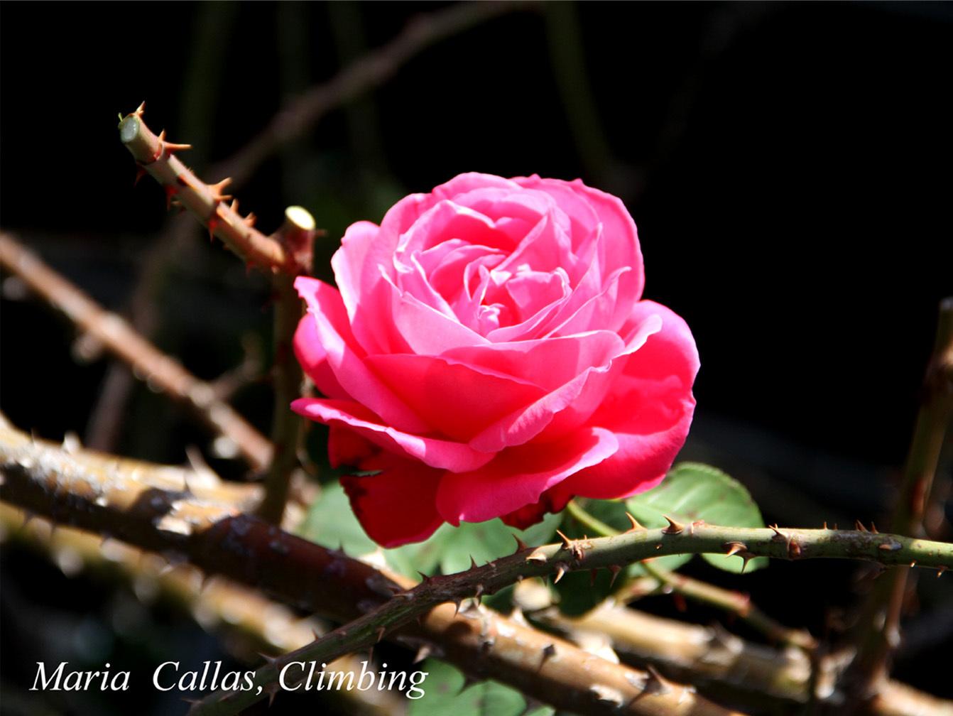 12月3日のバラ(1)