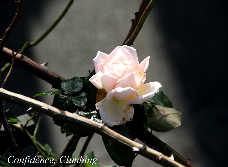 12月3日のバラ(2)