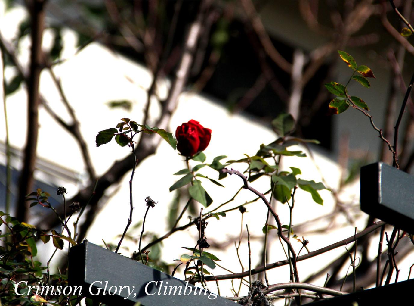 12月3日のバラ(4)