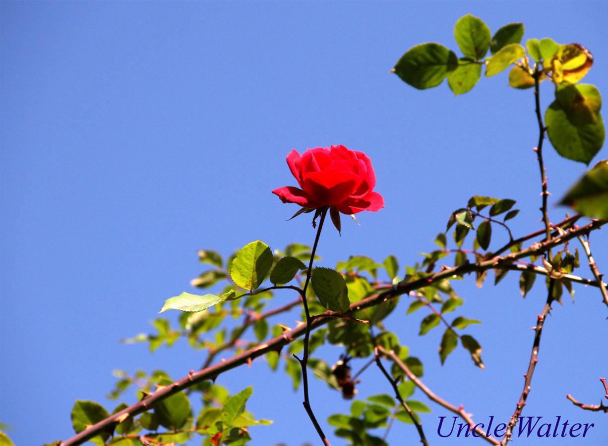 12月3日のバラ(5)