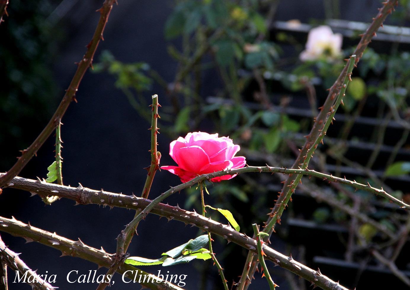 12月3日のバラ(8)