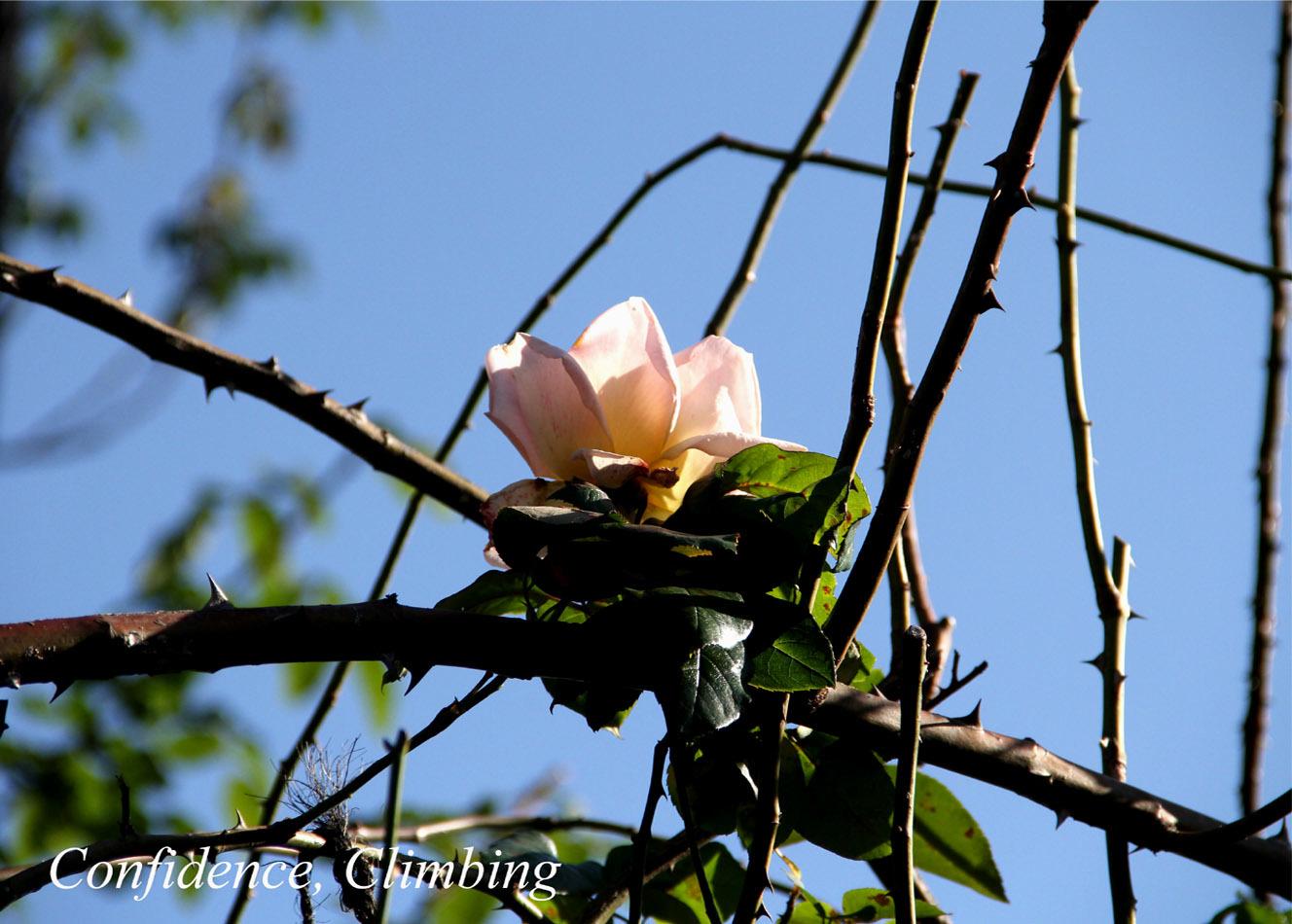 12月3日のバラ(10)