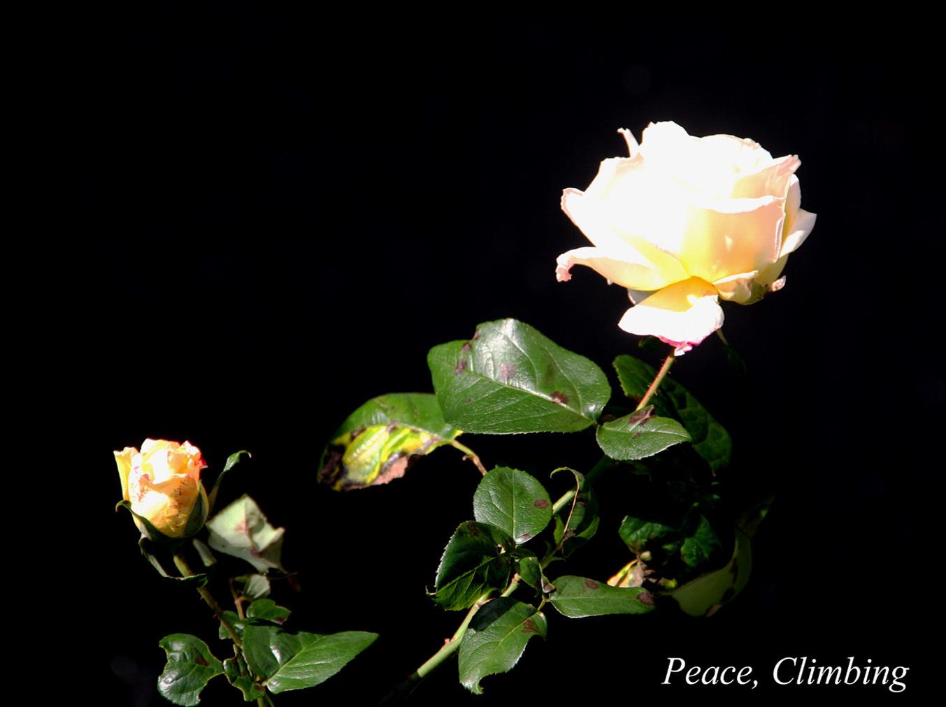 12月3日のバラ(11)