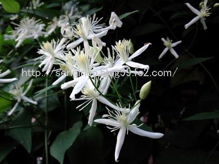 2016仙人草の花1