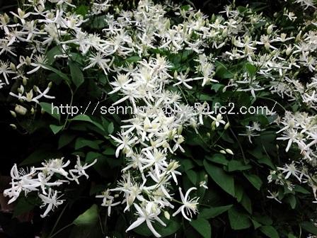 2016仙人草の花2