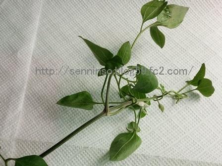 仙人草の葉1