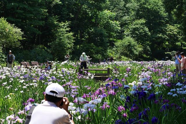 2016-06-08 智光山公園菖蒲 021