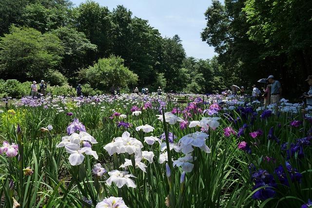 2016-06-08 智光山公園菖蒲 012