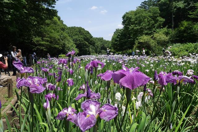 2016-06-08 智光山公園菖蒲 009