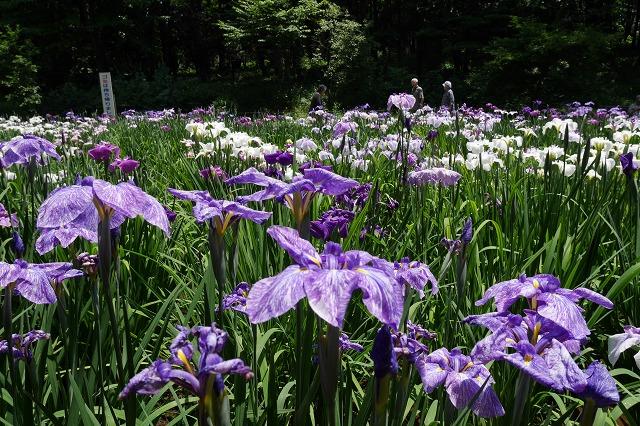 2016-06-08 智光山公園菖蒲 007
