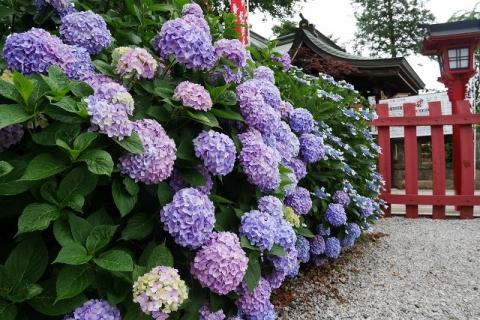 2016-06-09 川越八幡宮アジサイ 005