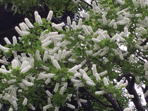 ウワミズ桜 花