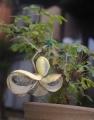 鉢植えのアケビ