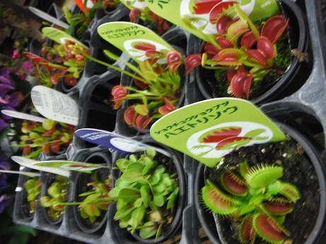 20160528食虫植物