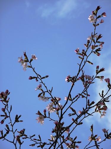 s-温泉街の桜