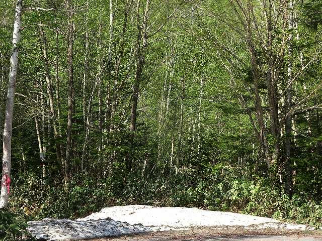 s-森の木陰には まだ、雪。