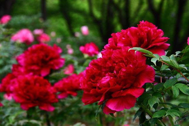まるでバラのような深紅の牡丹
