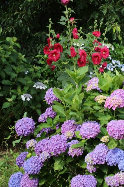 紫陽花とタチアオイ(ホリホック)