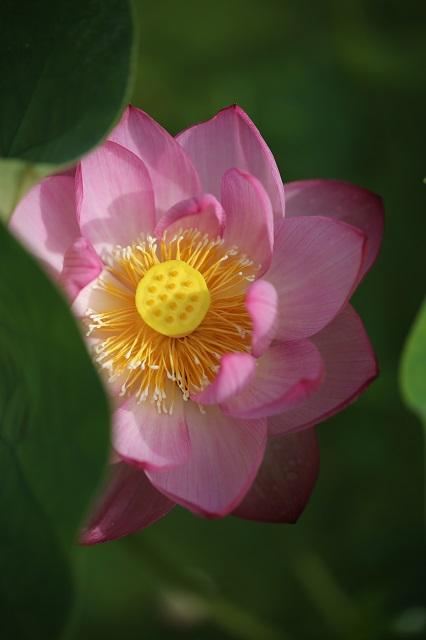 真上から見た蓮の花