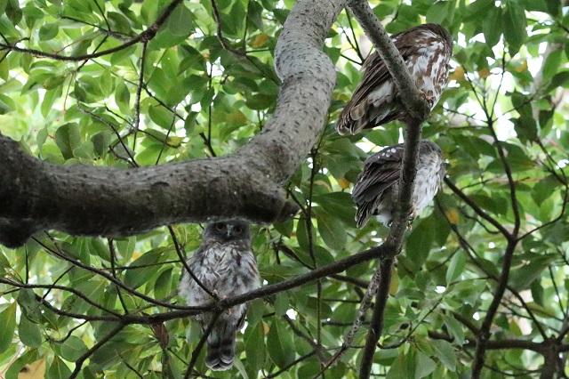 親鳥と雛たち