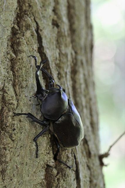 樹液酒場のカブトムシ