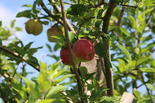 秋の味覚 りんご