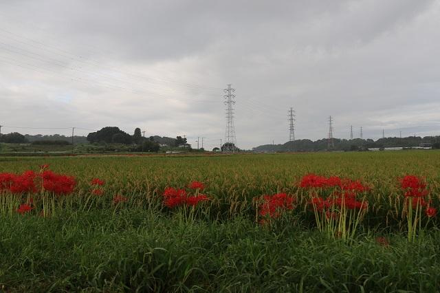 畦道に植わる曼珠沙華