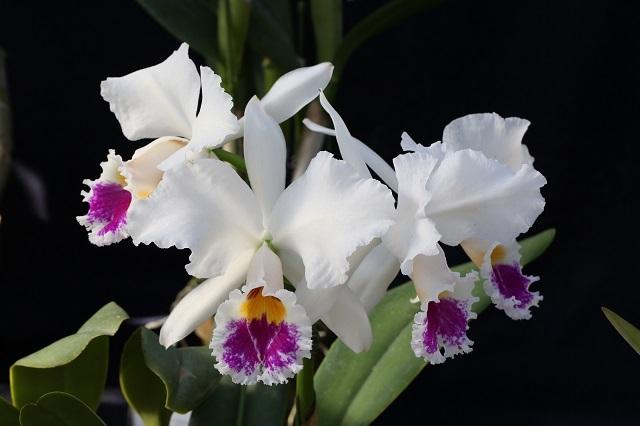 """C.labiata (""""senenity"""" X """"Bom Dia"""")"""