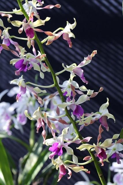 Den.(Haising × taurinum)