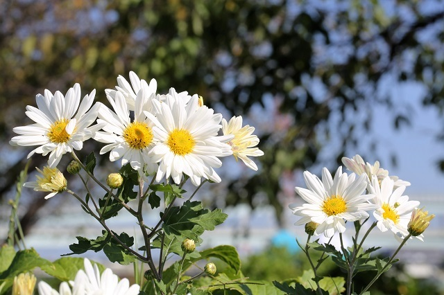 菊 真っ盛り