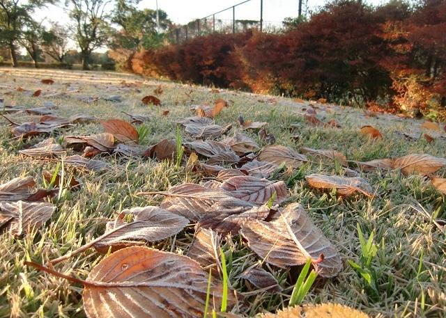 霜で白くなった葉っぱ