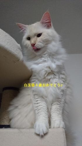 白玉猫4歳_0