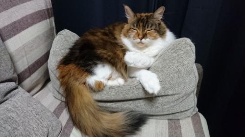 小豆猫_眠り猫