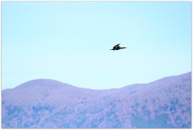 五所川原市 野鳥 水鳥 野鳥 鵜 写真