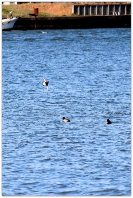 五所川原市 野鳥 水鳥 野鳥 スズガモ 写真