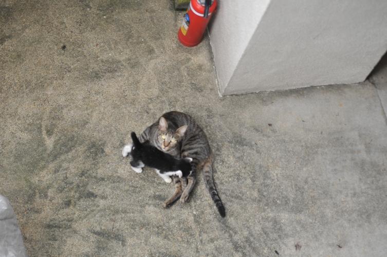 子育て中のキジトラ