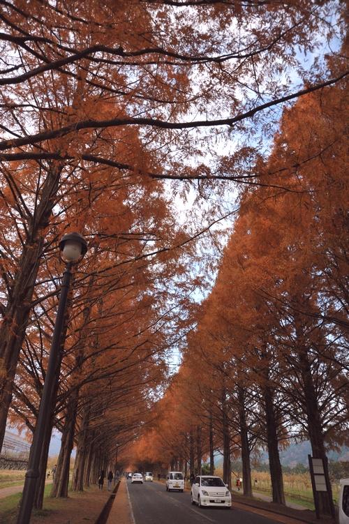 秋色メタセコイア