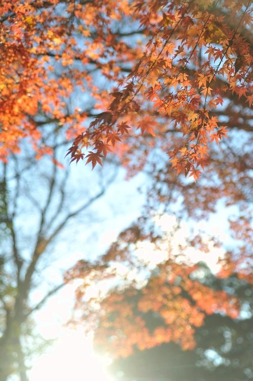 斜陽/紅葉