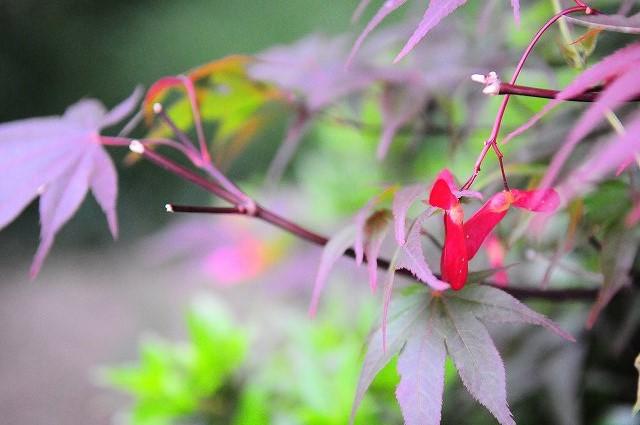 赤いモミジ01