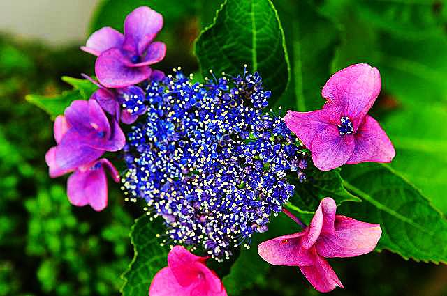 紫陽花06