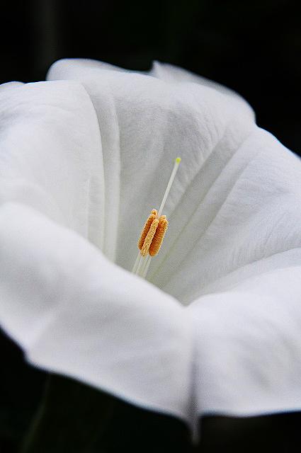 チョウセンアサガオ02