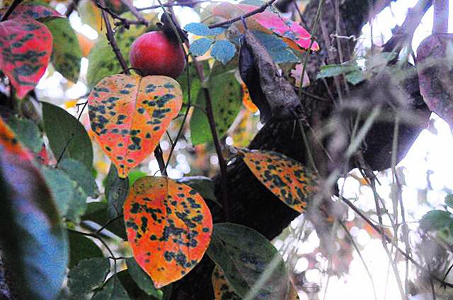柿の葉01
