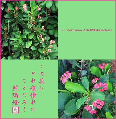 161101花キリン