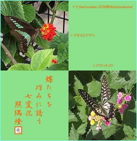 161108七変化に蝶