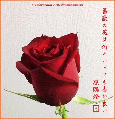 161118深紅のバラ