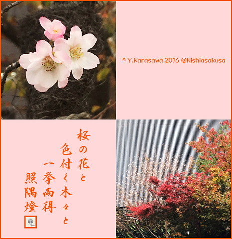 161124桜と紅葉