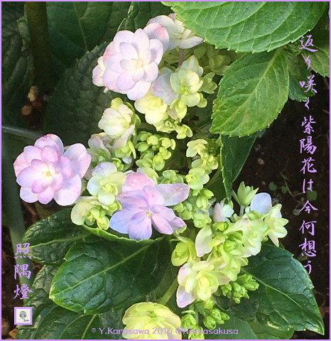 161127紫陽花返り咲き