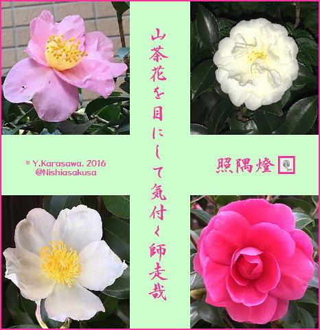 161201山茶花
