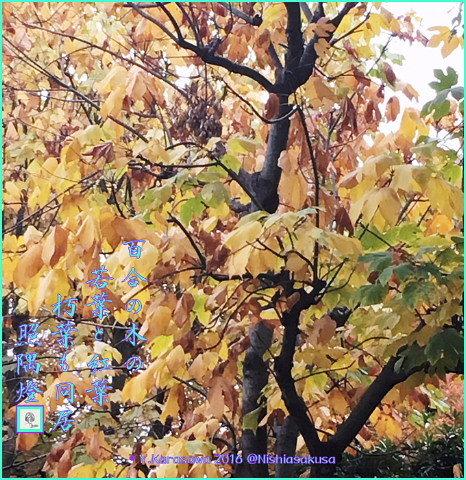 161204ユリノキの紅葉